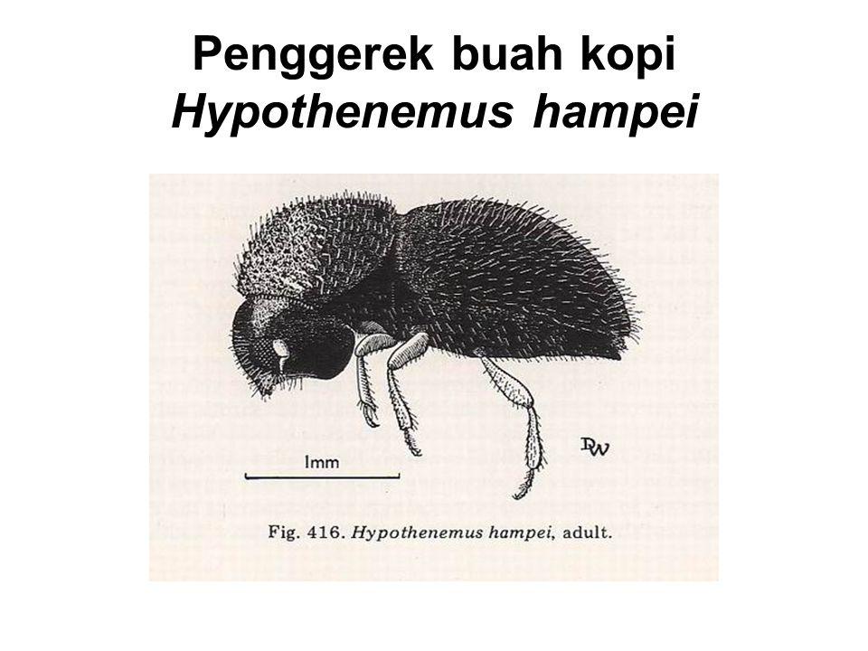 Penggerek buah kopi Hypothenemus hampei