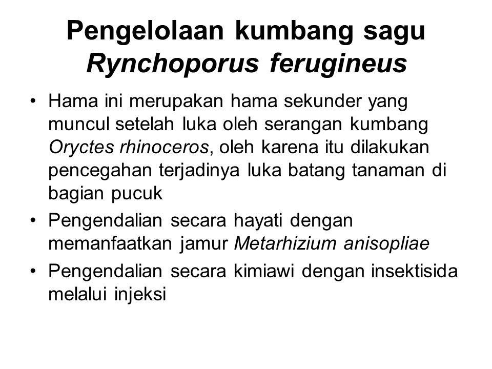 Pengelolaan kumbang sagu Rynchoporus ferugineus