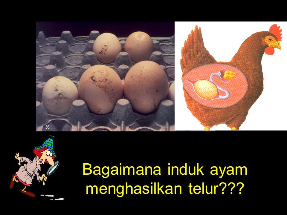 Bagaimana induk ayam menghasilkan telur