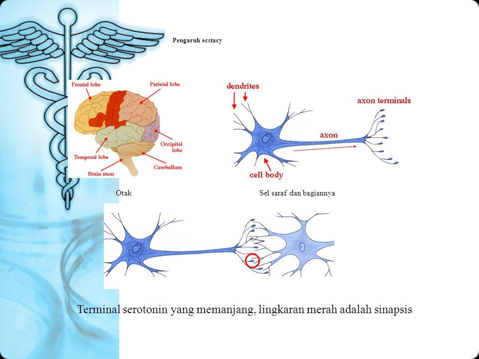 Terminal serotonin yang memanjang, lingkaran merah adalah sinapsis
