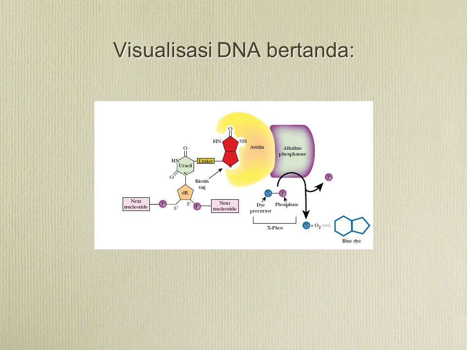 Visualisasi DNA bertanda: