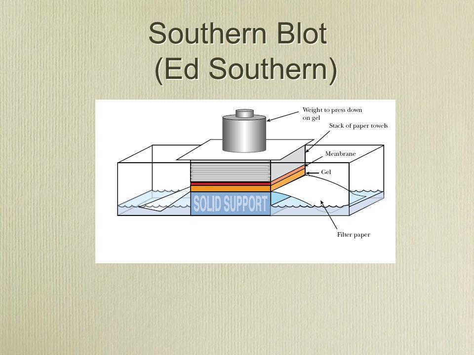 Southern Blot (Ed Southern)