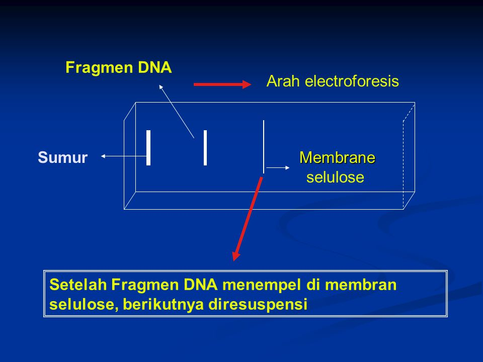 Fragmen DNA Arah electroforesis. Sumur. Membrane.