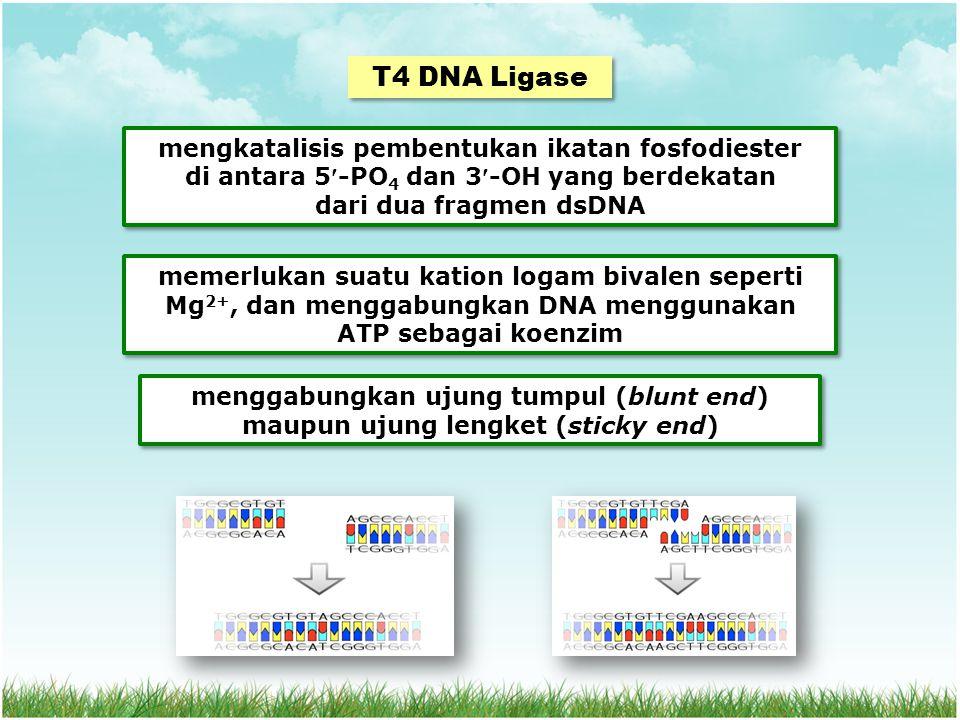 T4 DNA Ligase mengkatalisis pembentukan ikatan fosfodiester