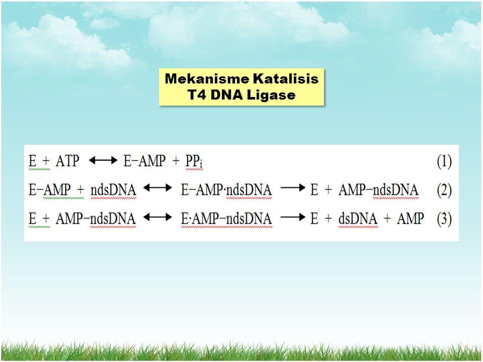 Mekanisme Katalisis T4 DNA Ligase