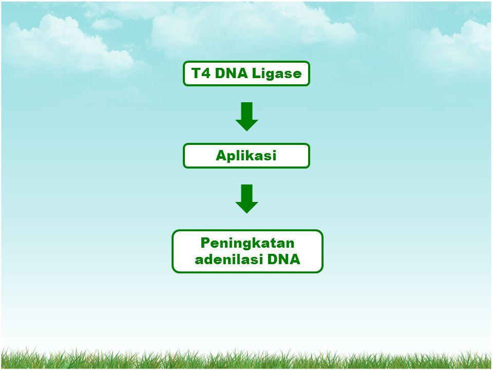 Peningkatan adenilasi DNA