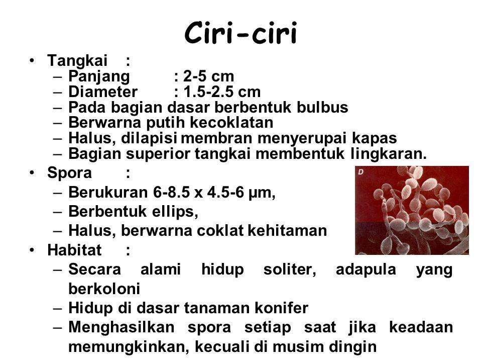 Ciri-ciri Tangkai : Panjang : 2-5 cm Diameter : 1.5-2.5 cm