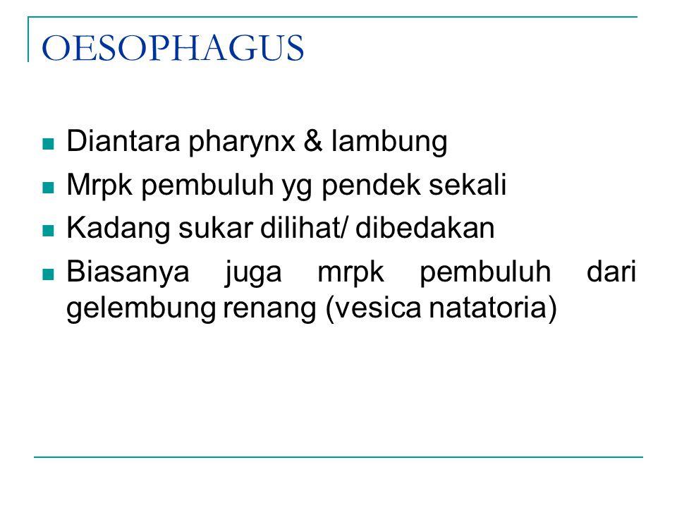 OESOPHAGUS Diantara pharynx & lambung Mrpk pembuluh yg pendek sekali