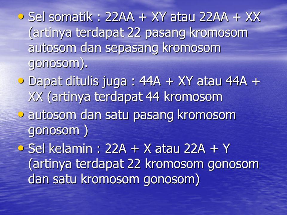 Sel somatik : 22AA + XY atau 22AA + XX (artinya terdapat 22 pasang kromosom autosom dan sepasang kromosom gonosom).
