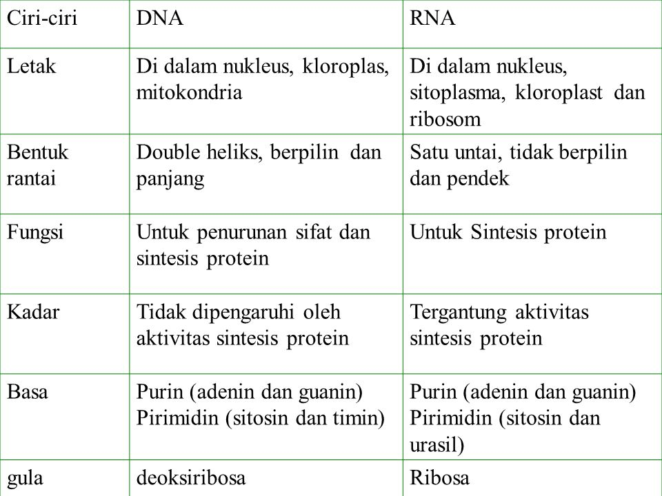 Ciri-ciri DNA. RNA. Letak. Di dalam nukleus, kloroplas, mitokondria. Di dalam nukleus, sitoplasma, kloroplast dan ribosom.
