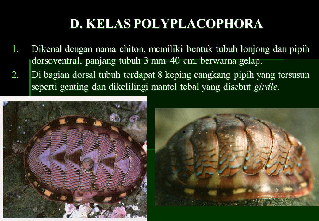 polyplacophora a kelas chaetodermomorpha ppt download