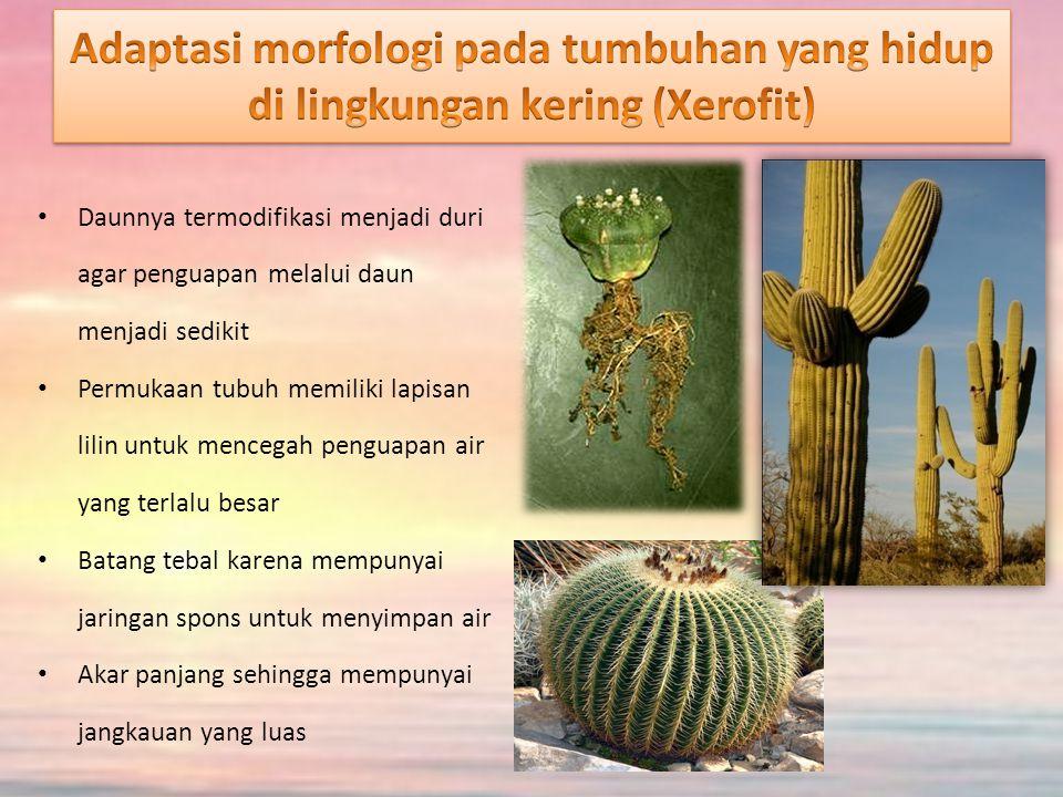 Adaptasi morfologi pada tumbuhan yang hidup di lingkungan kering (Xerofit)