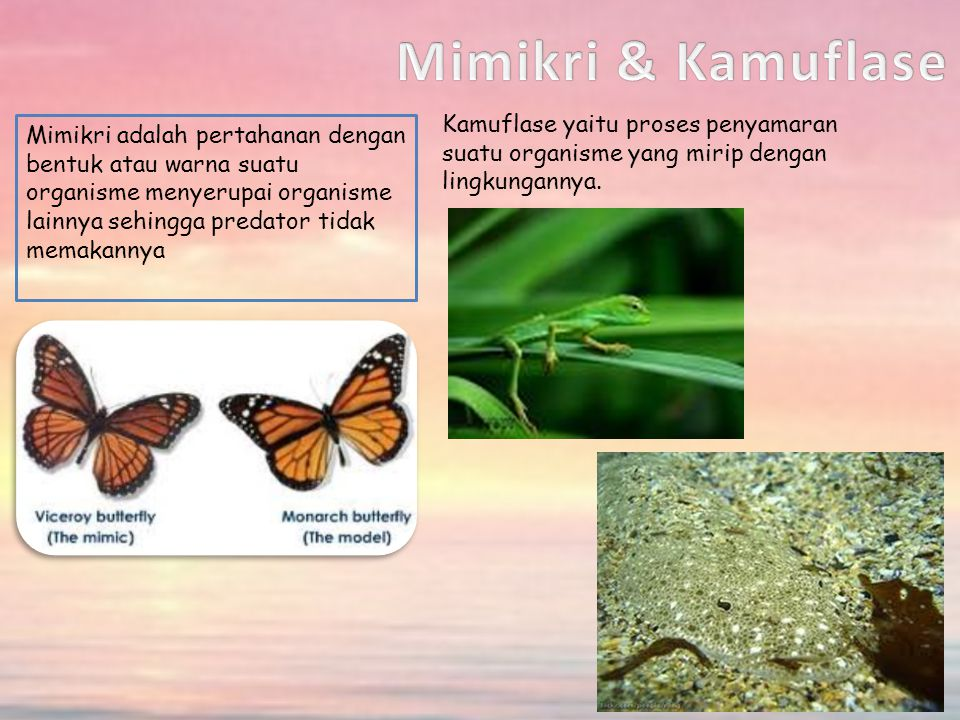 Mimikri & Kamuflase Kamuflase yaitu proses penyamaran suatu organisme yang mirip dengan lingkungannya.