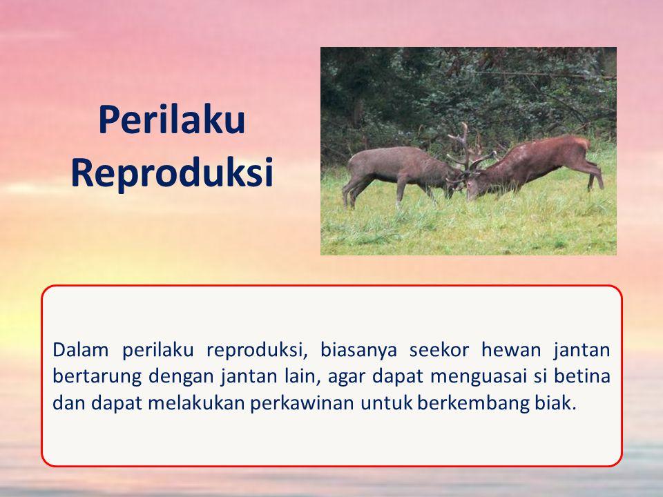 Perilaku Reproduksi