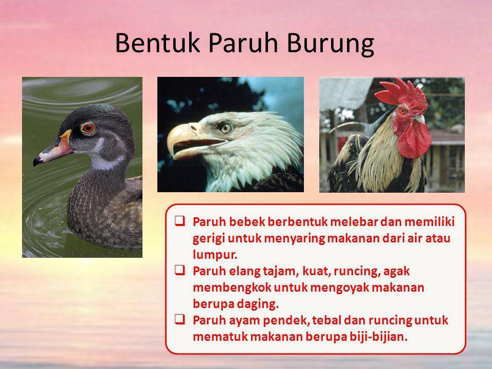 Bentuk Paruh Burung Paruh bebek berbentuk melebar dan memiliki gerigi untuk menyaring makanan dari air atau lumpur.