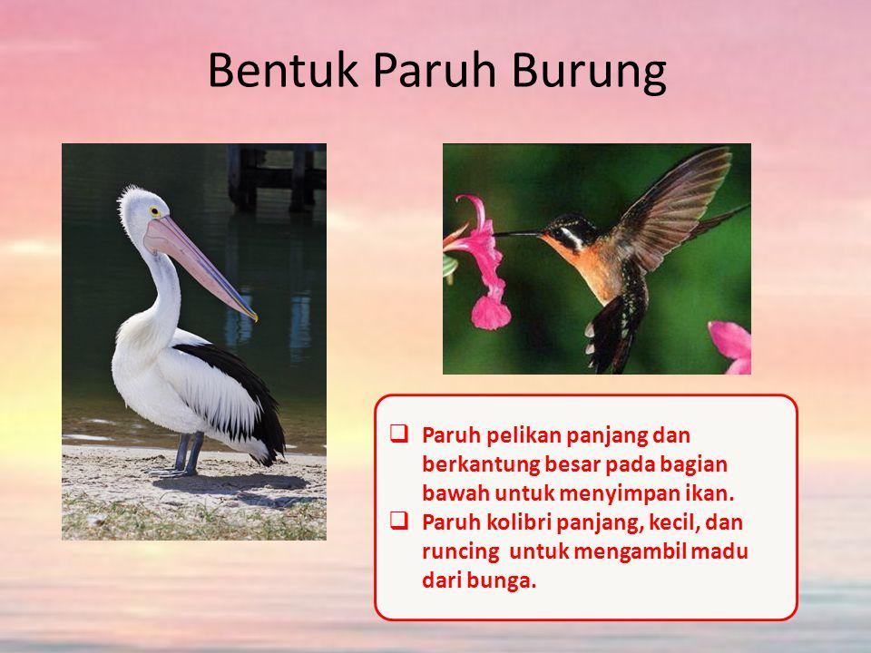 Bentuk Paruh Burung Paruh pelikan panjang dan berkantung besar pada bagian bawah untuk menyimpan ikan.
