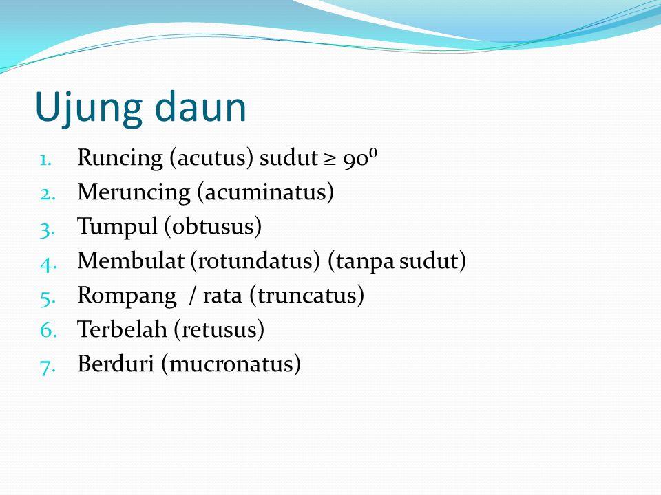 Ujung daun Runcing (acutus) sudut ≥ 90⁰ Meruncing (acuminatus)