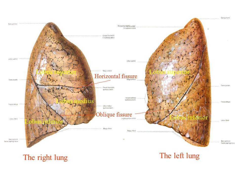 The left lung The right lung Lobus superior Lobus superior