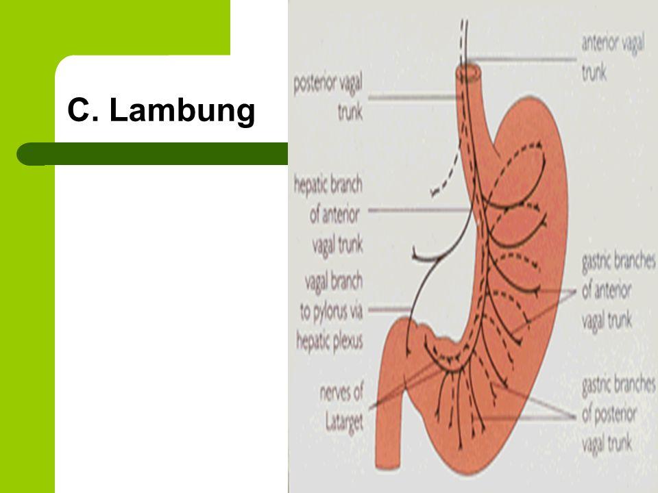 C. Lambung