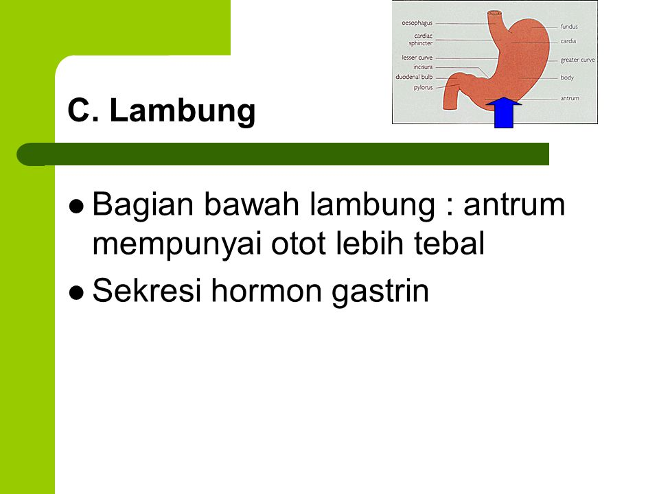 C. Lambung Bagian bawah lambung : antrum mempunyai otot lebih tebal Sekresi hormon gastrin
