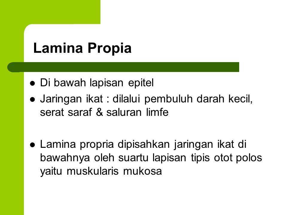 Lamina Propia Di bawah lapisan epitel