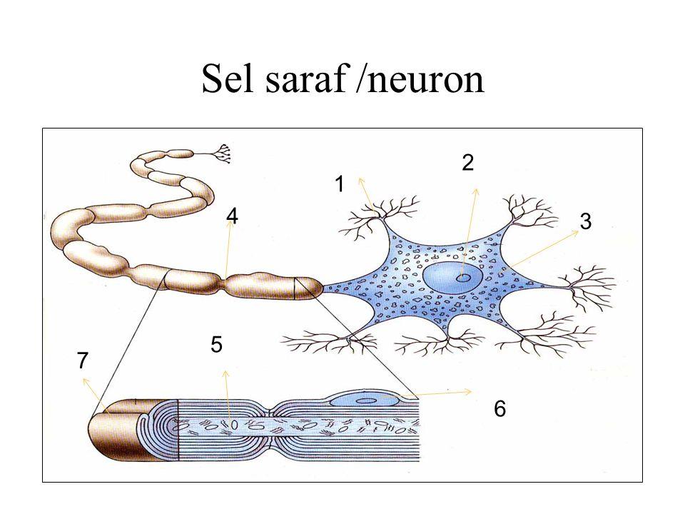 Sel saraf /neuron 2 1 4 3 5 7 6
