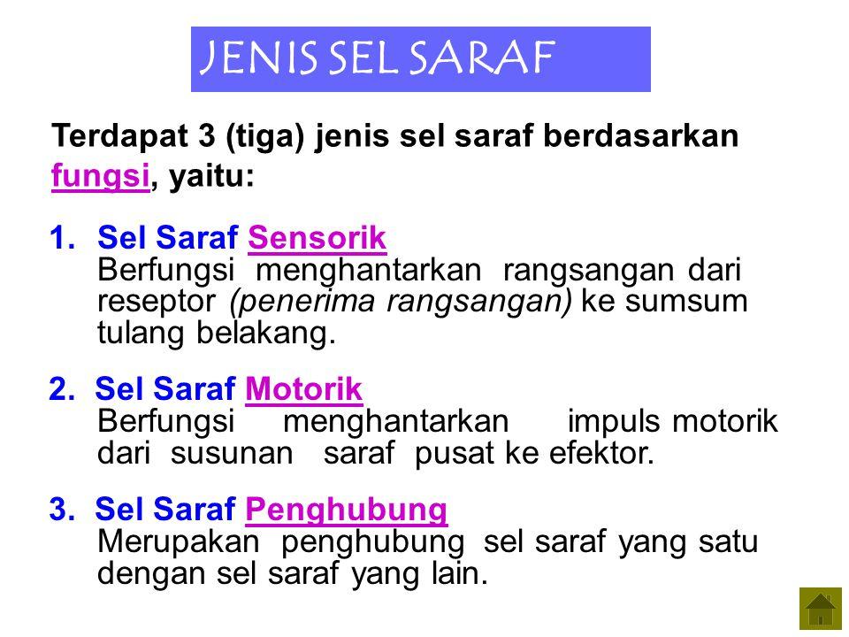 JENIS SEL SARAF Terdapat 3 (tiga) jenis sel saraf berdasarkan fungsi, yaitu: