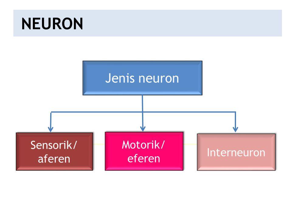 NEURON Jenis neuron Sensorik/ Motorik/ Interneuron aferen eferen