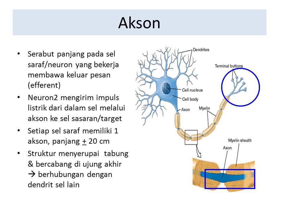 Akson Serabut panjang pada sel saraf/neuron yang bekerja membawa keluar pesan (efferent)