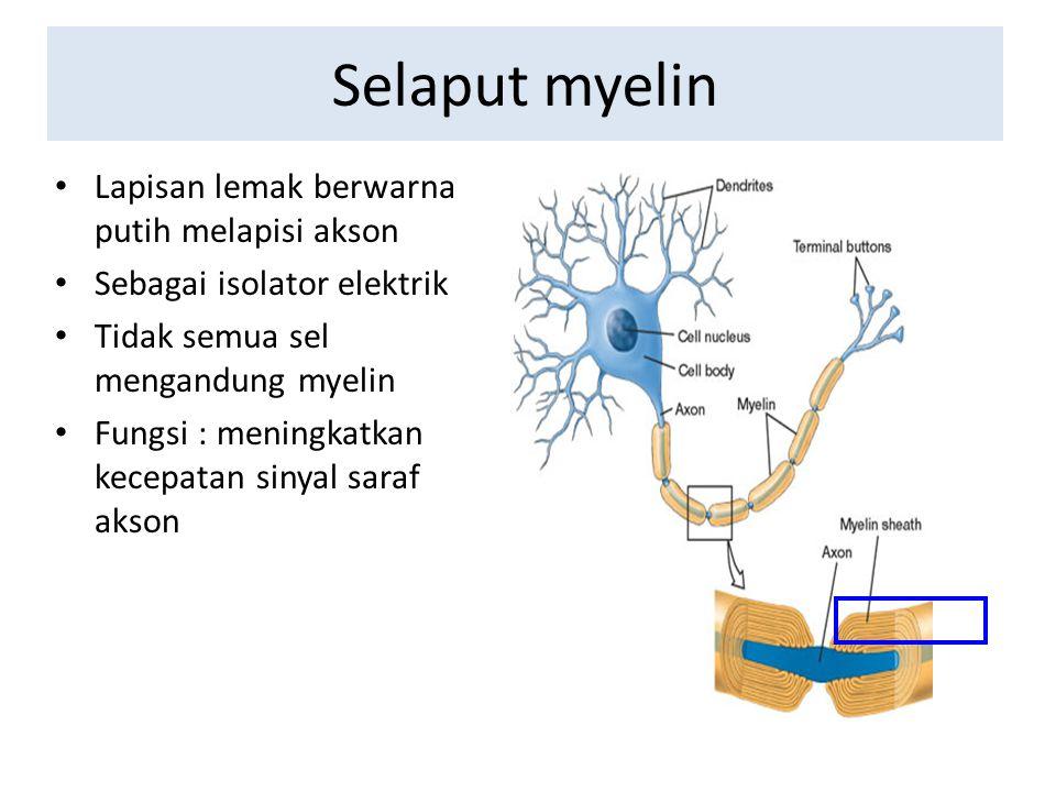 Selaput myelin Lapisan lemak berwarna putih melapisi akson