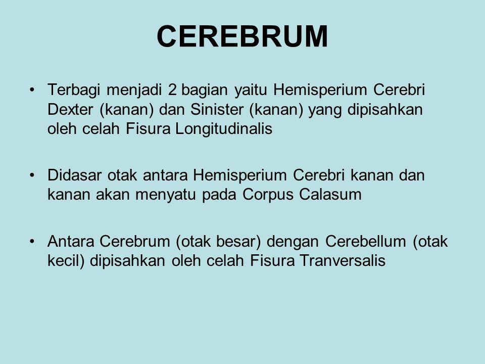 CEREBRUM Terbagi menjadi 2 bagian yaitu Hemisperium Cerebri Dexter (kanan) dan Sinister (kanan) yang dipisahkan oleh celah Fisura Longitudinalis.