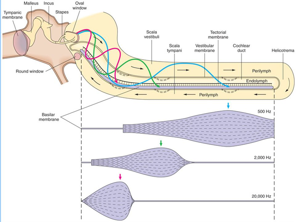 Ears and Hearing - Cochlea