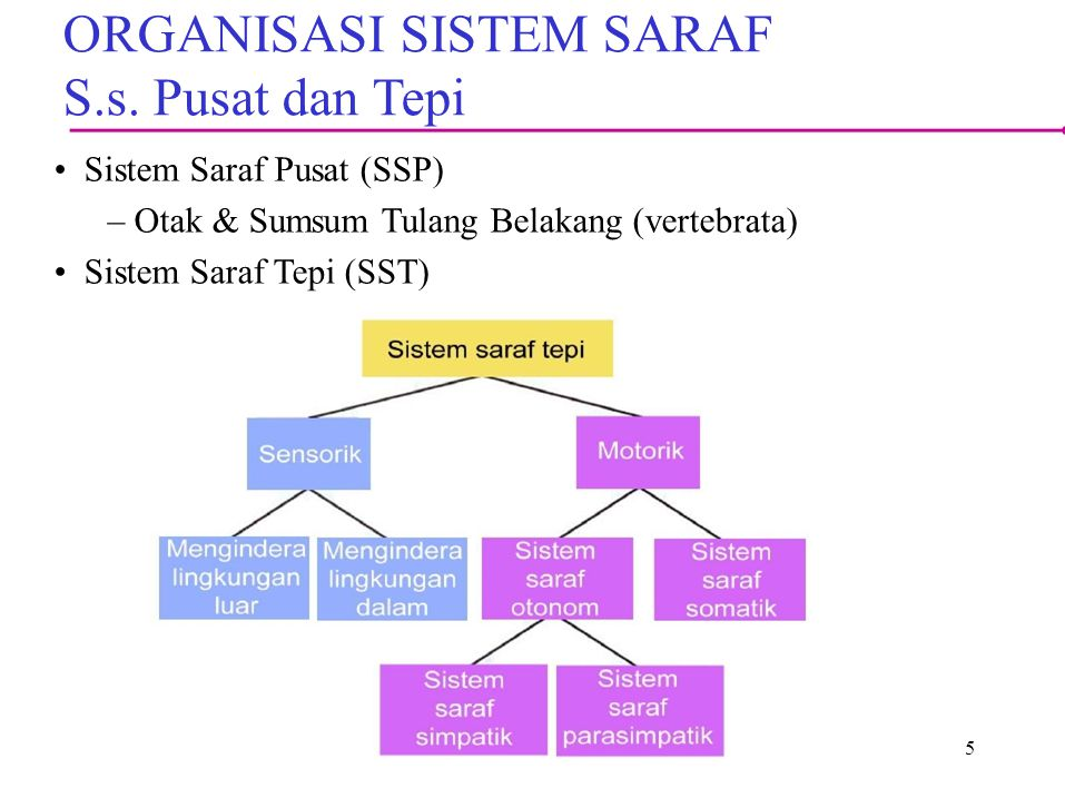 ORGANISASI SISTEM SARAF S.s. Pusat dan Tepi