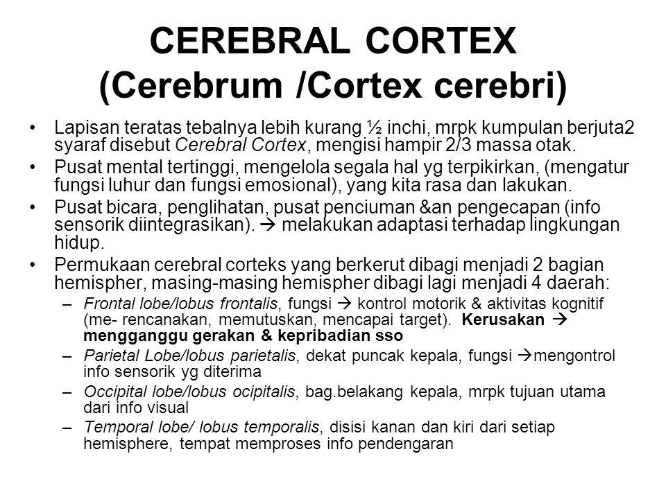 CEREBRAL CORTEX (Cerebrum /Cortex cerebri)