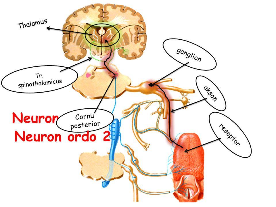 Neuron ordo 1 Neuron ordo 2 Thalamus ganglion akson Cornu posterior