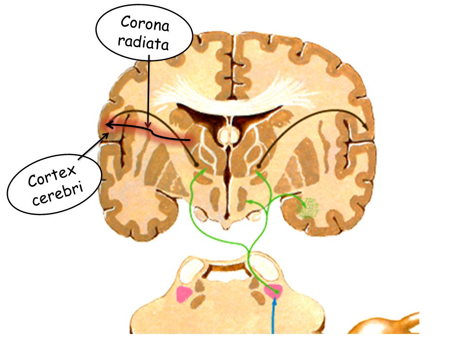 Corona radiata Cortex cerebri