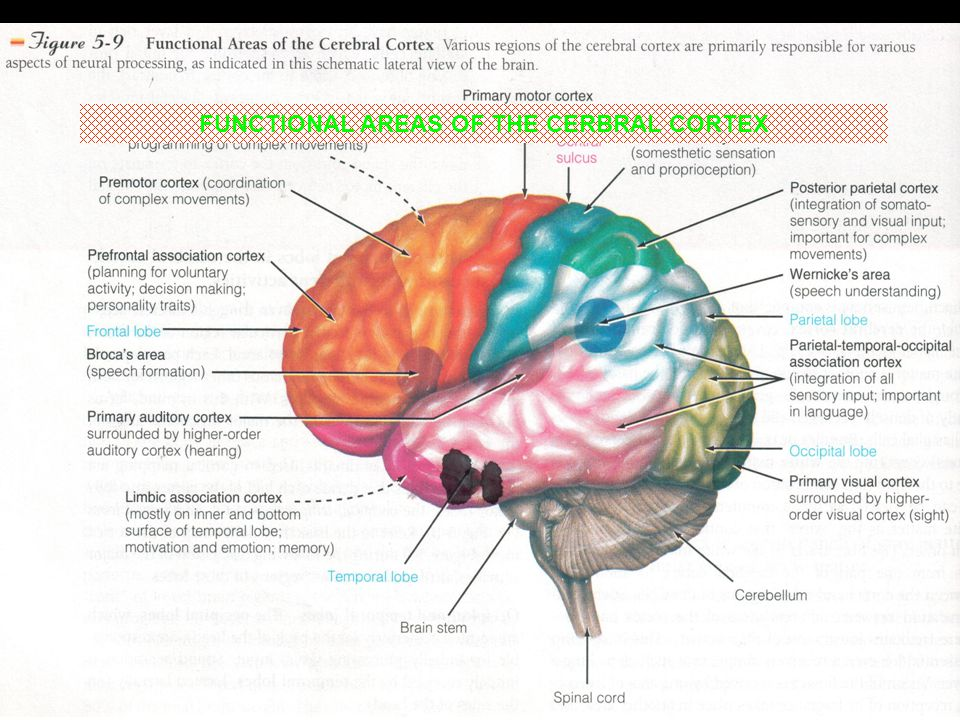 FUNCTIONAL AREAS OF THE CERBRAL CORTEX