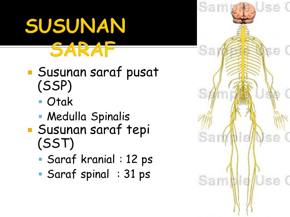 SUSUNAN SARAF Susunan saraf pusat (SSP) Susunan saraf tepi (SST) Otak