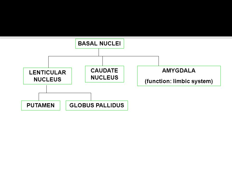 (function: limbic system)