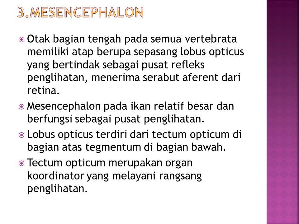 3.Mesencephalon