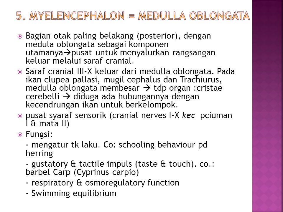 5. Myelencephalon = Medulla Oblongata