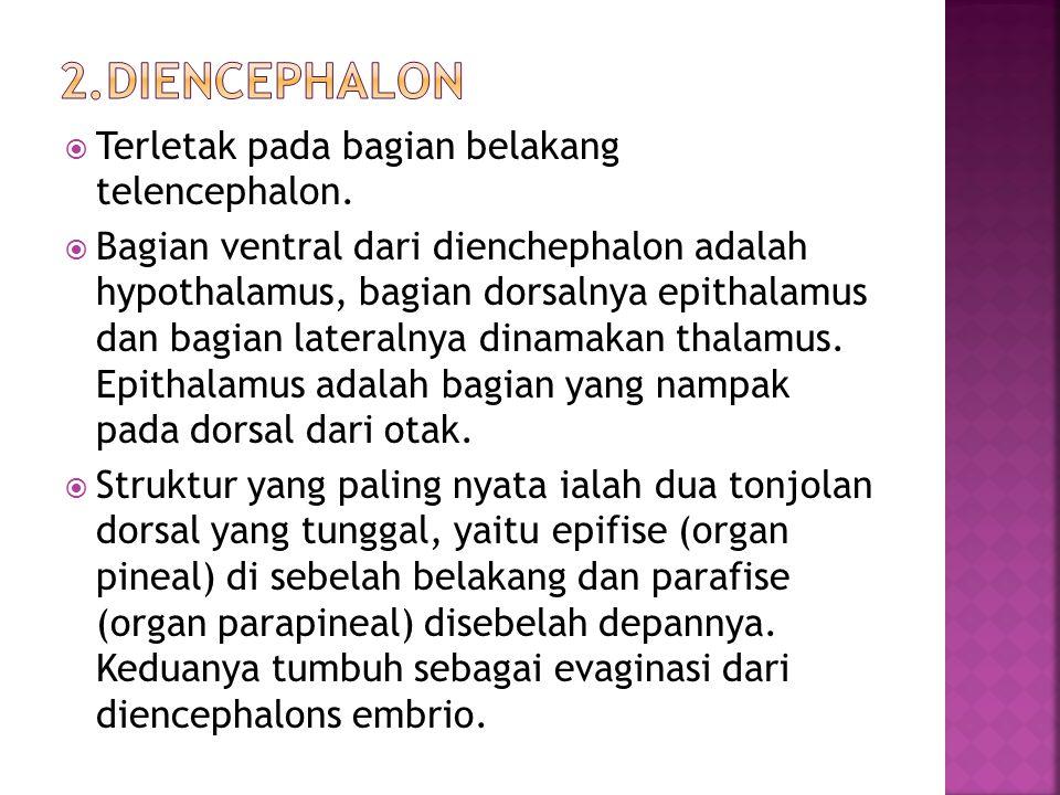 2.Diencephalon Terletak pada bagian belakang telencephalon.