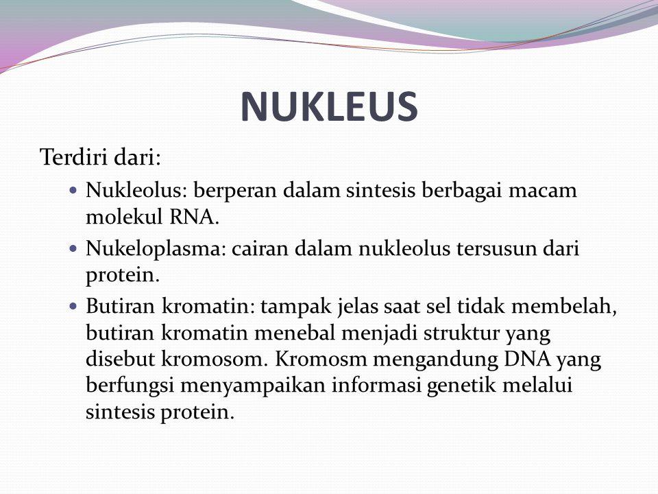 NUKLEUS Terdiri dari: Nukleolus: berperan dalam sintesis berbagai macam molekul RNA. Nukeloplasma: cairan dalam nukleolus tersusun dari protein.