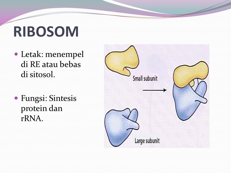RIBOSOM Letak: menempel di RE atau bebas di sitosol.