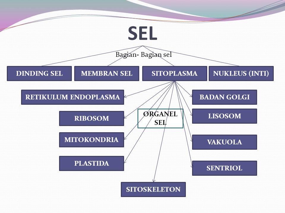 SEL Bagian- Bagian sel DINDING SEL MEMBRAN SEL SITOPLASMA