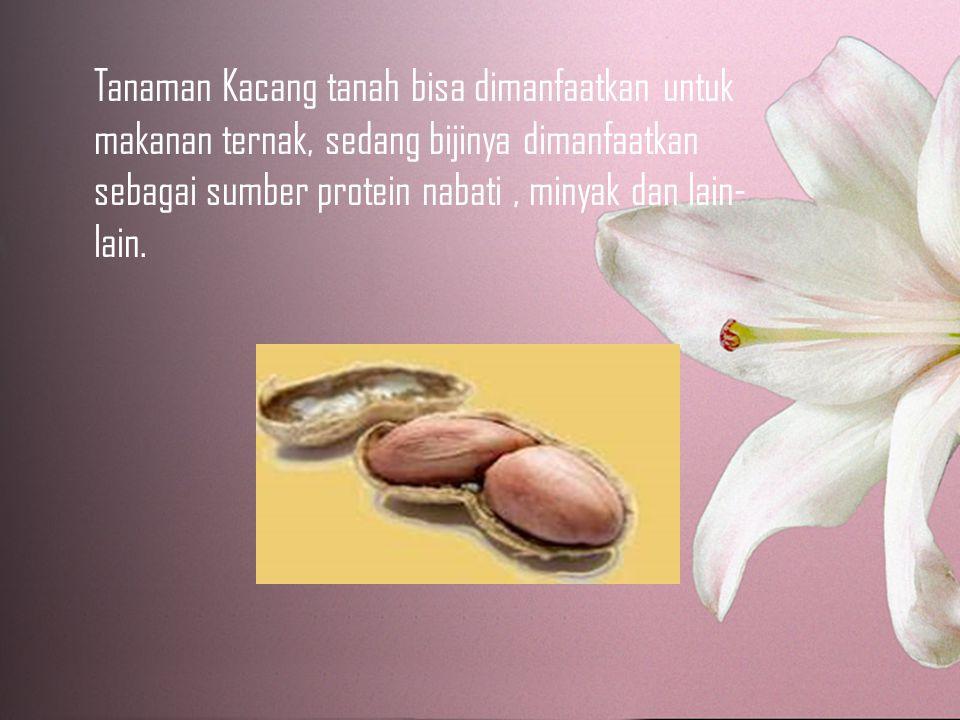 Tanaman Kacang tanah bisa dimanfaatkan untuk makanan ternak, sedang bijinya dimanfaatkan sebagai sumber protein nabati , minyak dan lain-lain.