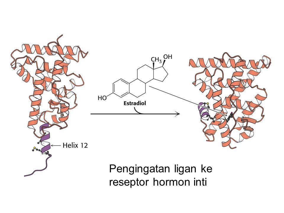 Pengingatan ligan ke reseptor hormon inti