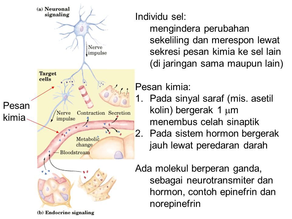 Individu sel: mengindera perubahan sekeliling dan merespon lewat sekresi pesan kimia ke sel lain (di jaringan sama maupun lain)