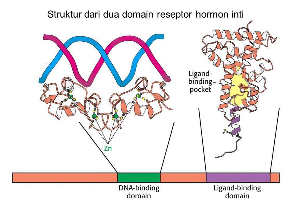 Struktur dari dua domain reseptor hormon inti