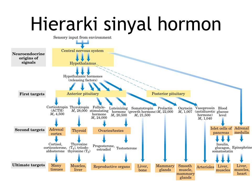 Hierarki sinyal hormon